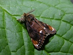 Scarce Vapourer (Orgyia recens)